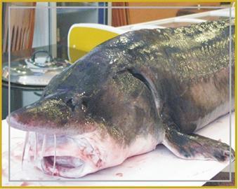 野生鳇鱼是保护动物