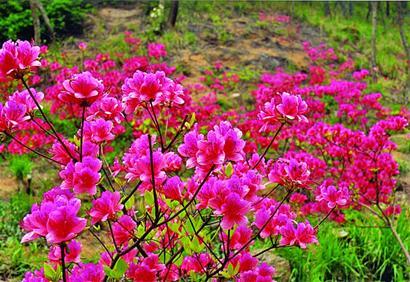 生杜鹃花迎春绽放