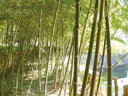 盼下几场雨 假死 竹子才返青
