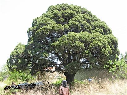 坟地里的两棵柏树
