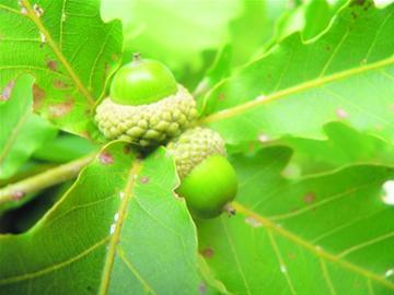 山黄瓜野茉莉还有葛枣猕猴桃崂山风景区发现130种奇异