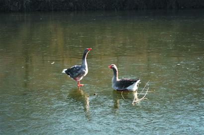 这时候,我才发现原来那2只不动的天鹅是被冻在湖面上