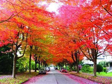 街道枫树风景图片