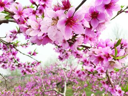 和樱花比,樱桃花的花更小,而且雄蕊很多,仔细看花瓣是一种粉白色.