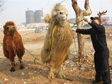 他怀疑两头骆驼是动物园走失的,立即拨打了110报警.