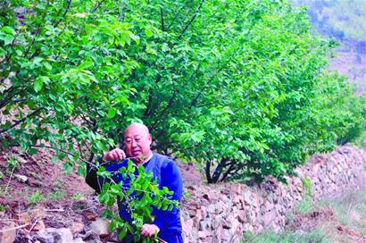 去年春里,老杨在他的月季山里搞了一个樱桃采摘节